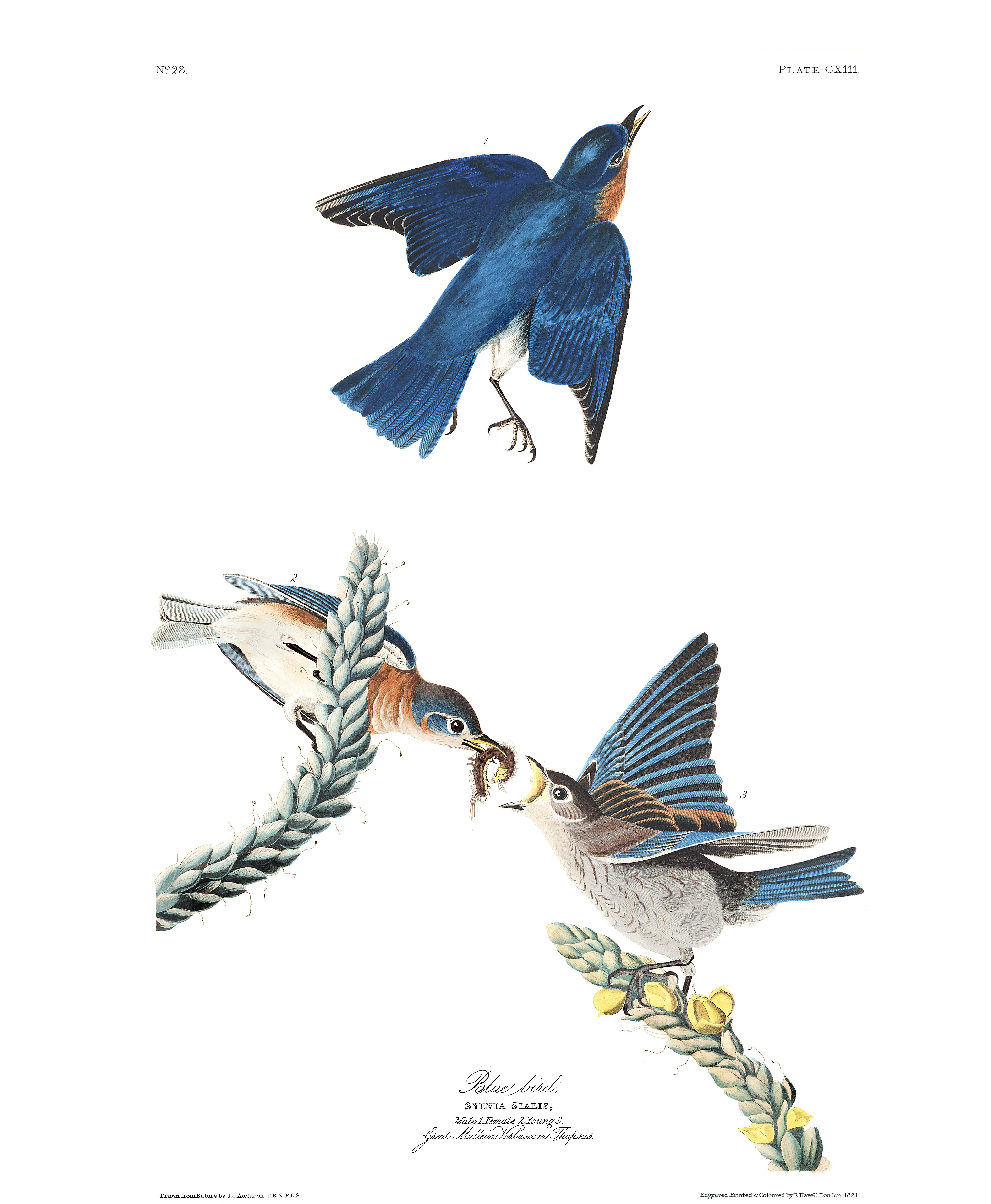 Blue Bird John James Audubon S Birds Of America