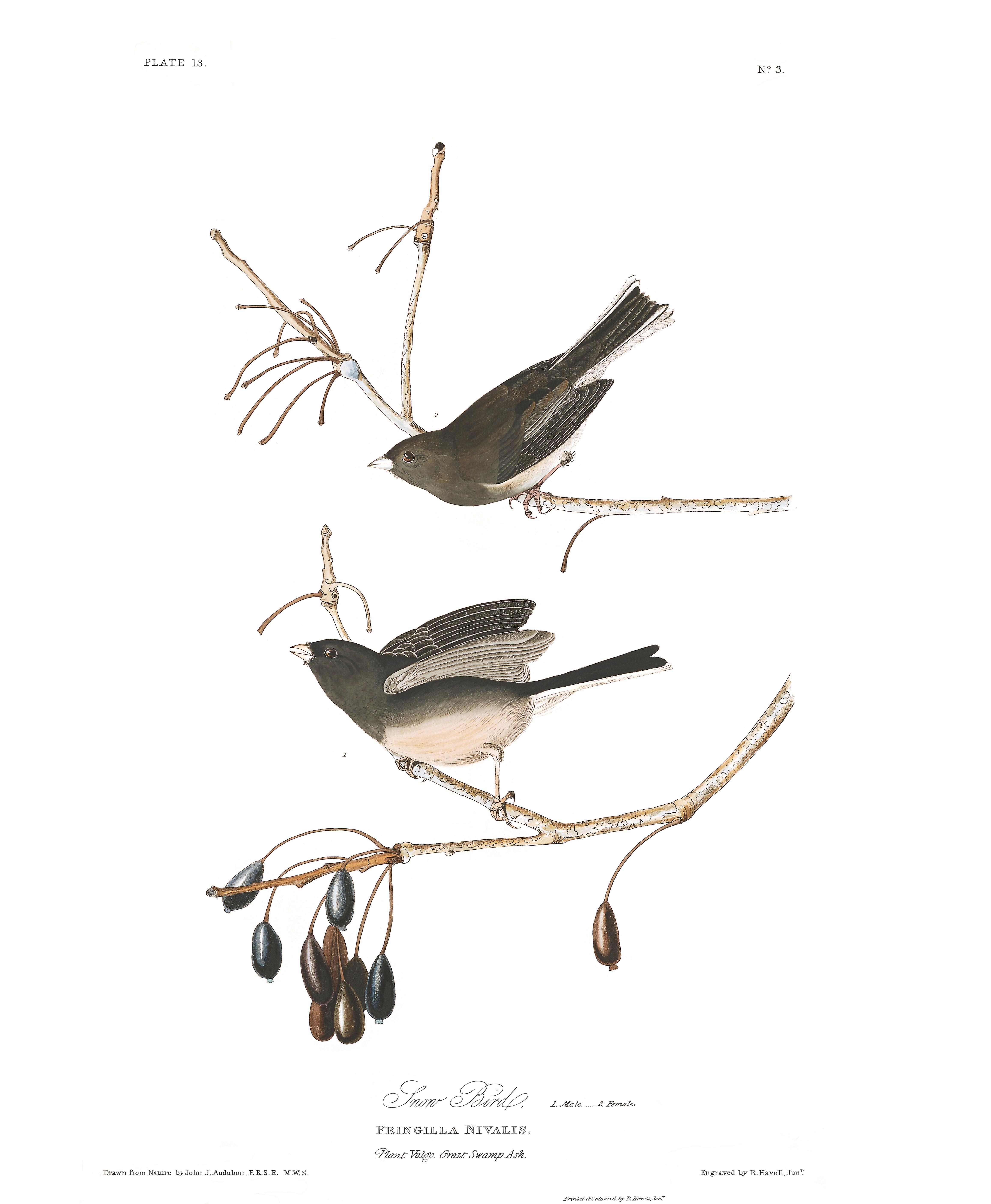snow bird john james audubon s birds of america