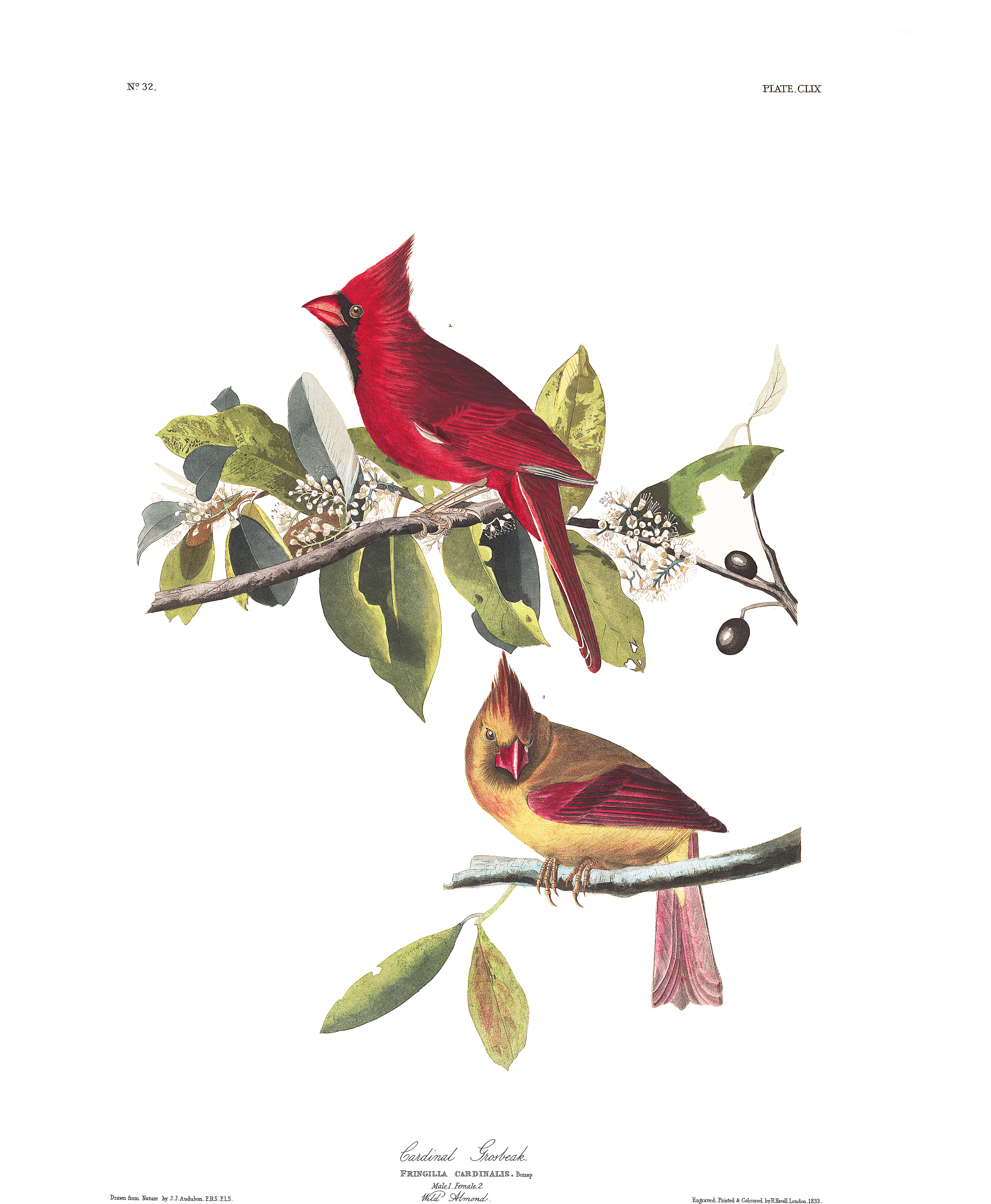 Cardinal Bird Outline Muscles Wiring Diagrams And Can Be Found At The Diagramspoultry Partscharts Sticky In Grosbeak John James Audubon S Birds Of America Rh Org Template Red Stencil
